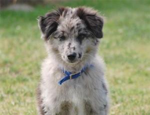 pyreneisk-gjeterhund-fidele