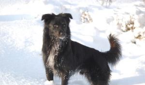 pyreneisk-gjeterhund